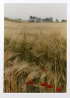 Ralph Gibson, Red Poppy Field, Bourgogne, photograph, 16 x 20 inches